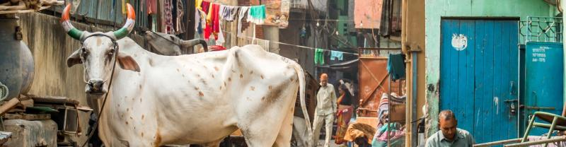 A holy cow in an alley in Delhi, India
