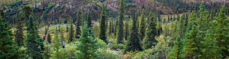 A forest view of Denali National Park