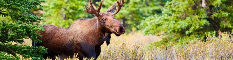 A moose in Denali National Park