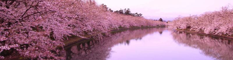 Cherry blossoms in spring, Aomori Japan