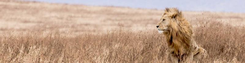 Male lion sits in grass in the Serengeti National Park