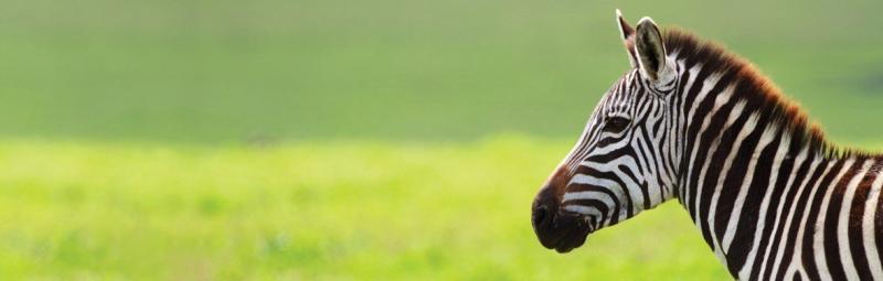 Zebra profile in front of bright green grass