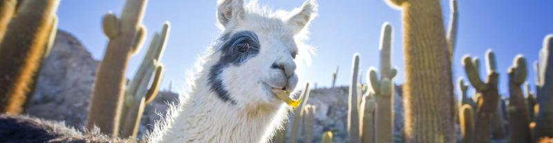 Close up of llama chewing food in a field of tall cacti