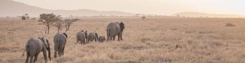 A herd of young elephants in Tanzania.