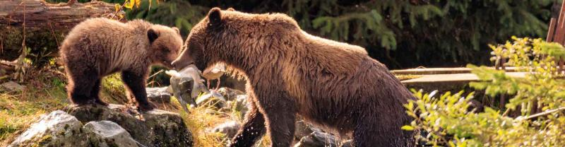 Alaskan mother bear and cub feed on fish by river, Alaska