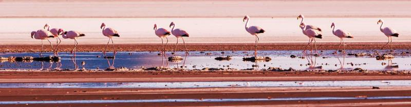 Flamingos gather in the bolivian salt flats