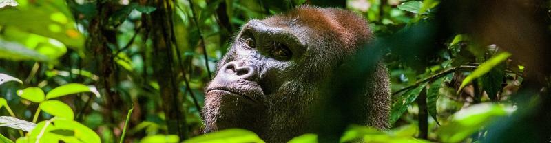 Congo western lowland gorilla