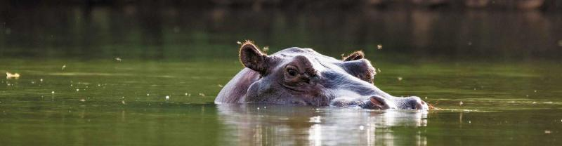 Hippo in the Gambia River, Gambia
