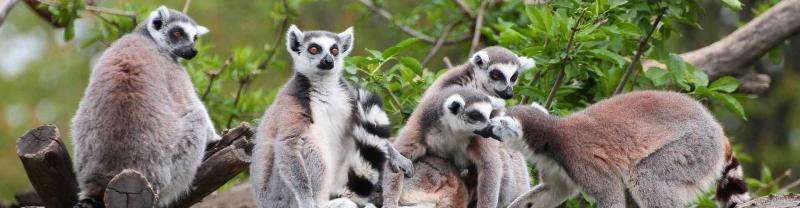 Family of lemurs sit in tree in madagascar