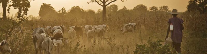 Man herding cattle at sunset in Benin, Africa