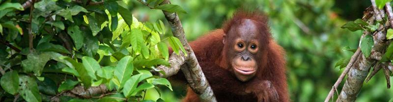 Baby orangutan climbing tree in Sepilok Orangutan Reserve, Borneo