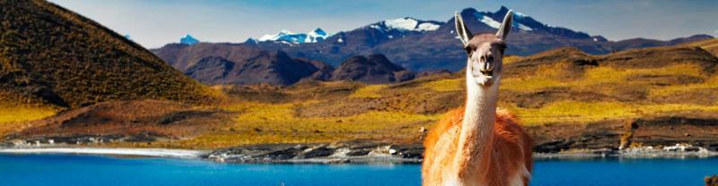 Llama standing before lake and mountain scenery in Torres del Paine National Park, Patagonia, Chile