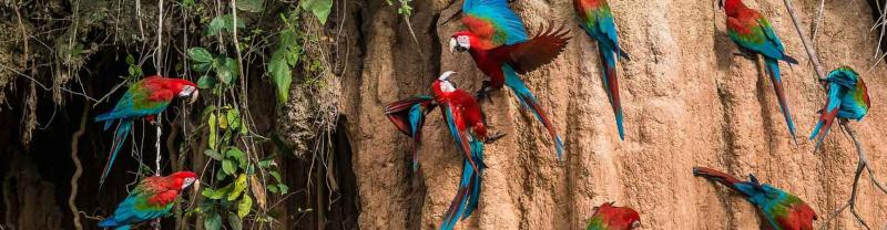 Macaw parrots perch in the amazon, ecuador