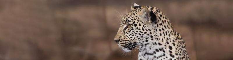 Close up of a Leopard, Ivory Coast