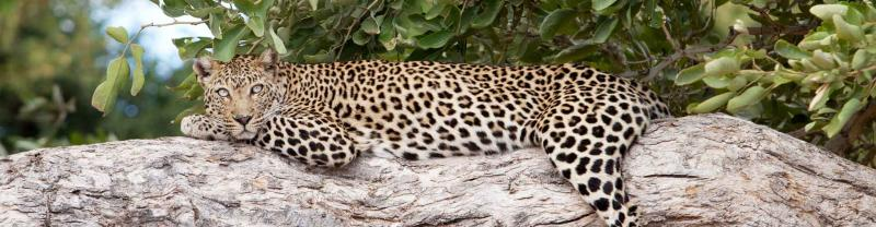 Leopard lays on branch in Kruger national park, South Africa