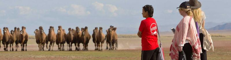 An Intrepid group watch a herd of camels near Ereen lake in Mongolia