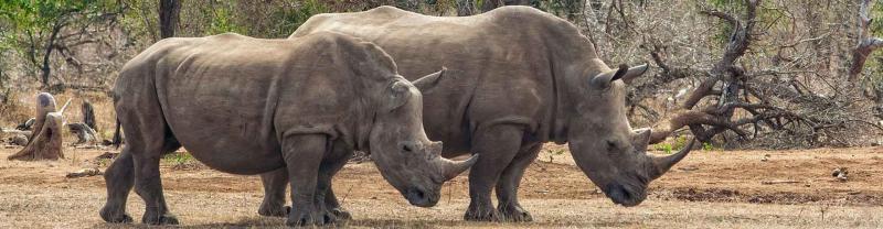 White rhinos walking in Hlane National Park, Swaziland