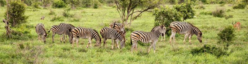 Herd of Zebras graze in Hwange National Park, Zimbabwe