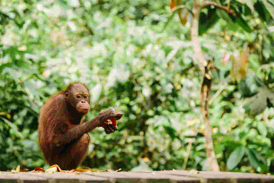 borneo_orangutan-sanctuary