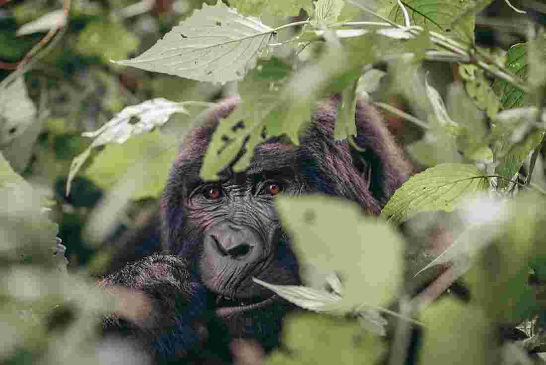 gorillas game parks intrepid travel us