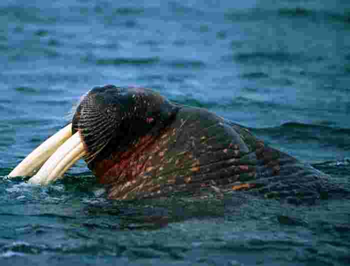 norway walrus sealife ocean water mammal
