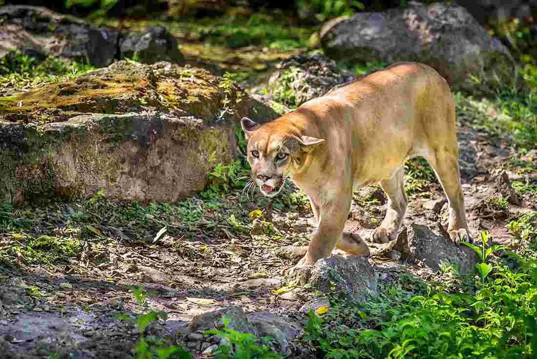 4021160fe5a7 Puma prowling in tropical jungle