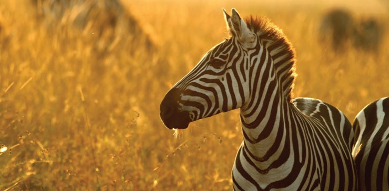zebra in golden fields in zanzibar