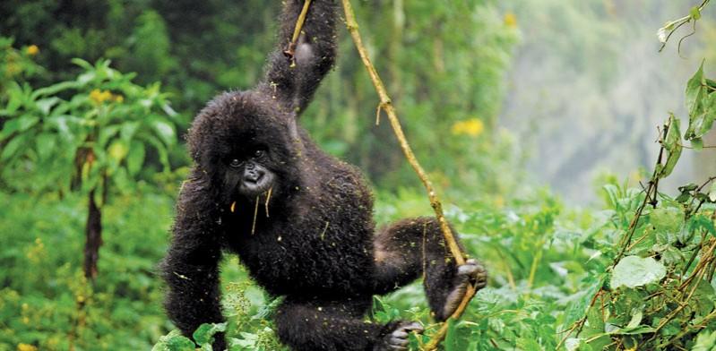 baby gorilla swinging in rwanda forest