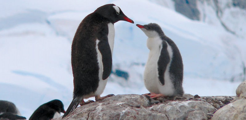 antarctica penguin mother and baby