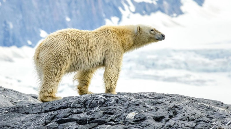 polar-bears---allan-hopkins