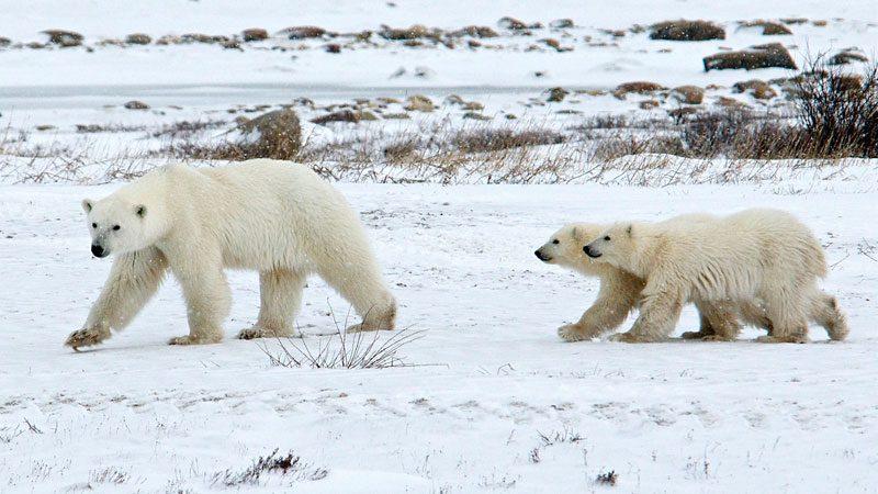 polar-bears---valerie