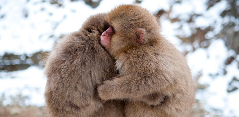 Monkey hug in Japan