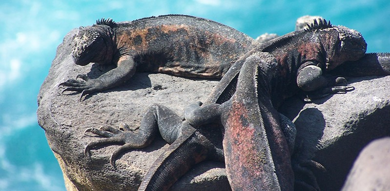 Iguanas in the Galapagos Island by Paul Fountain