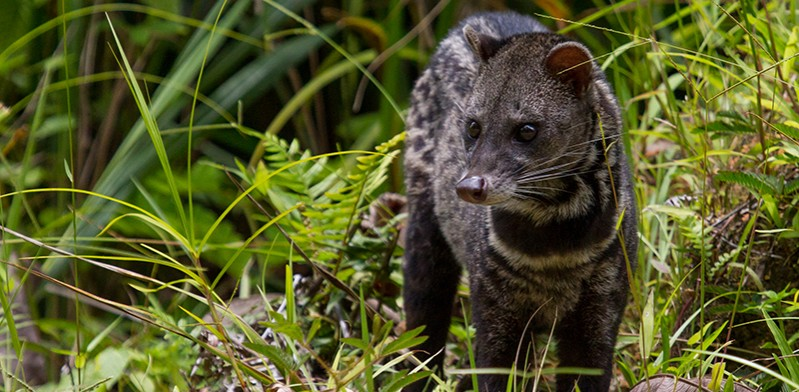 Civet cat photo by Paul Williams