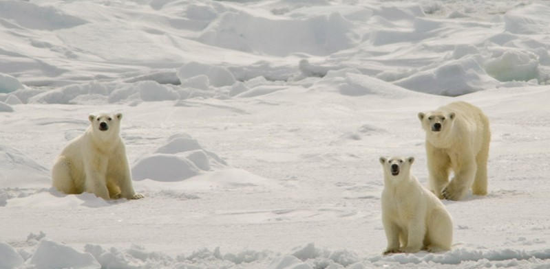 Polar bears Spitsbergen Steve Davey