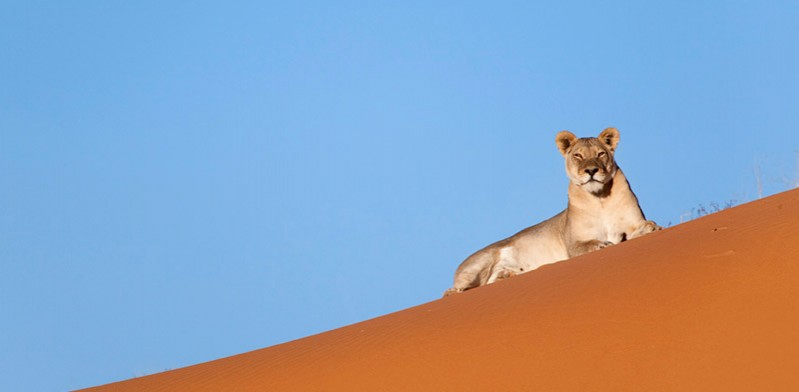 King of the Kalahari photo by Steve Toon