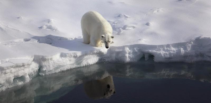 Arctic polar bear by Nick Cobbing Greenpeace