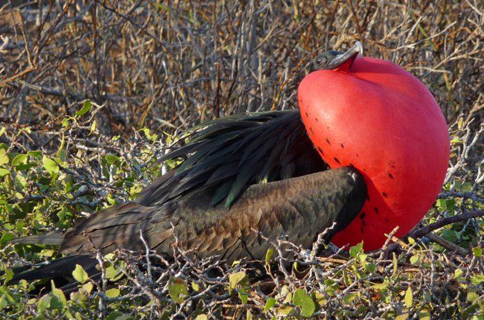 frigate bird in the Galapagos Islands Ecuador