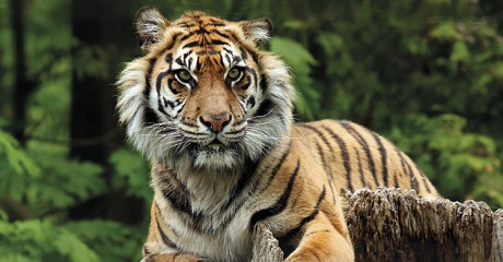 indonesia_sumatran-tiger_