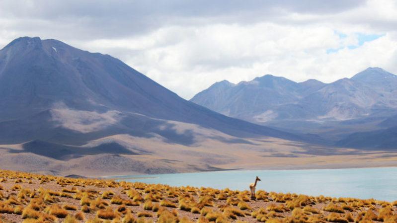 Chile_guanaco_Unsplash