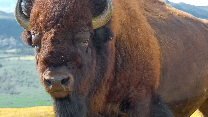 For those who were unaware. This is a buffalo. Image Christoph Diewald, Flickr