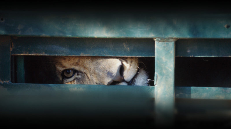 lion-in-crate