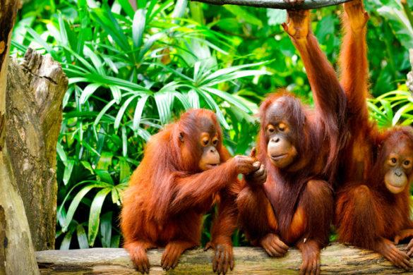 Three orangutans sitting in the jungle
