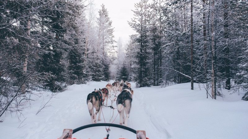 A team of dogs pulls along a sled through a snowy forest