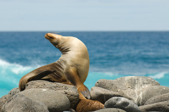 A seal sunbathing on the Galapagos Islands.