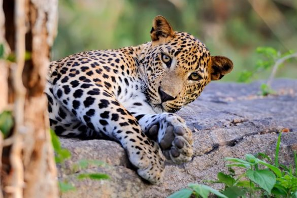 A leopard relaxes on a log in Sri Lanka